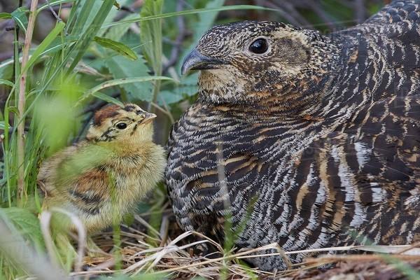 Black Grouse Chicks
