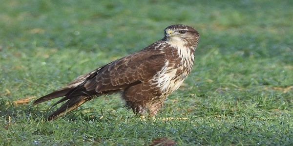 Common Buzzards Birds Information and Facts
