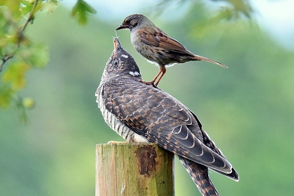 Common-Cuckoo-Breeding-Family