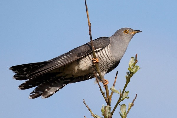 Common-Cuckoo