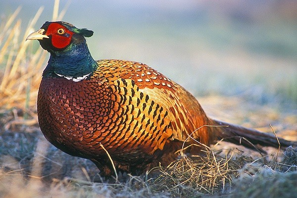 Common-Pheasant-Bird-Information-Facts