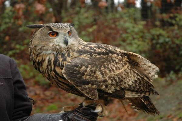 Eurasian-Eagle-Owl-information-Facts