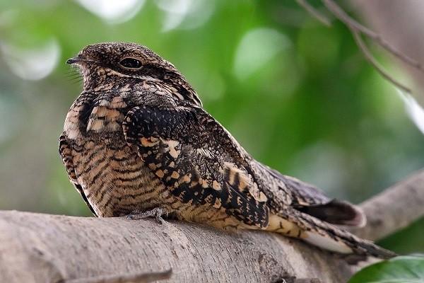 European Nightjar (Coprimulgus europaeus)