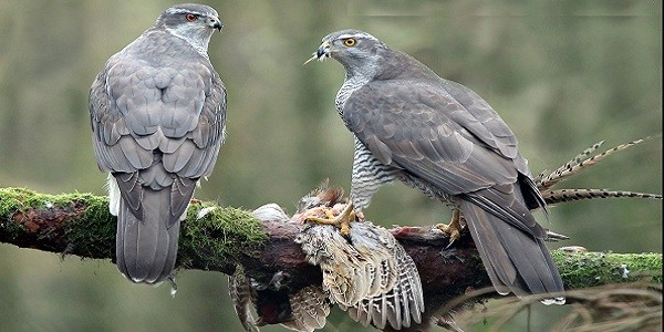 Goshawk Bird Information and Facts