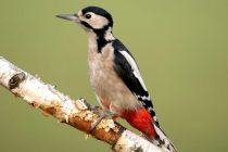 Great-spotted-woodpecker-bird-information-facts