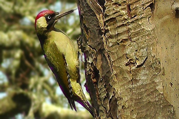 Green-woodpecker-Nesting-Breeding