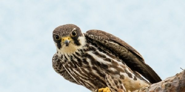Hobby-Bird-Information-Facts