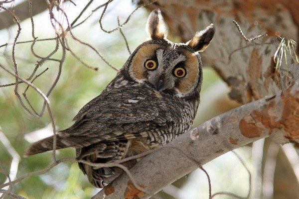 Long-eared-Owl-Bird-Information-Facts