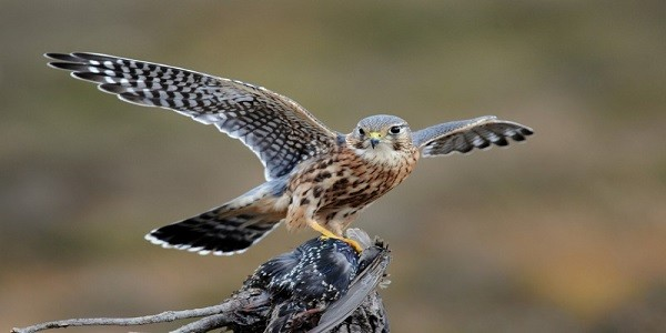 Merlin-Bird-Information-Facts