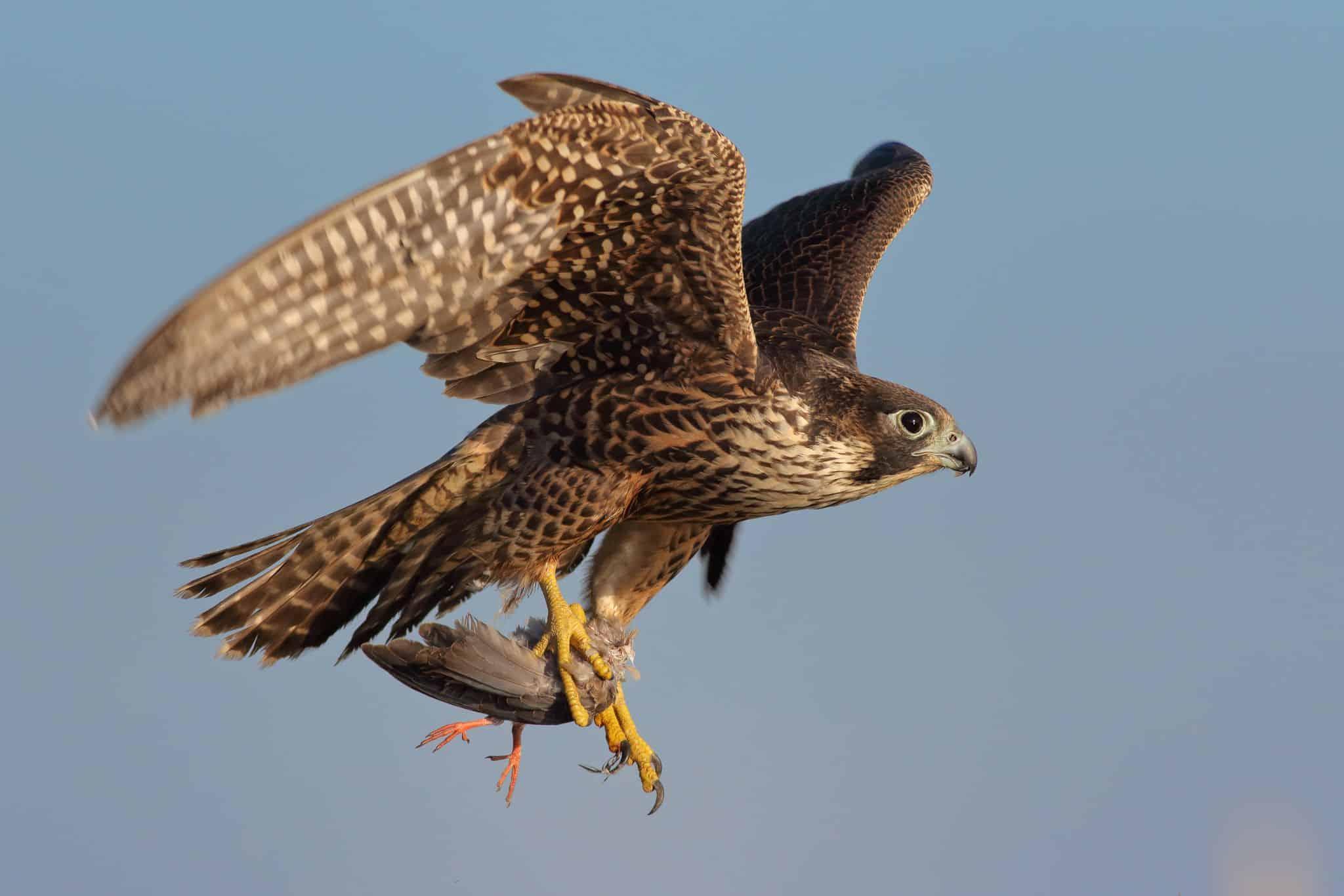 Peregrine-falcon-strike-in-the-air