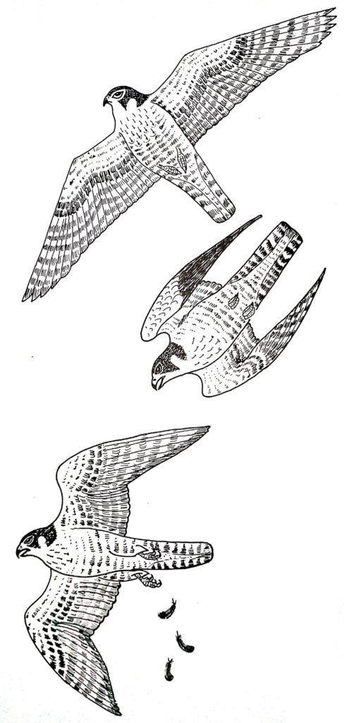 Physical-structure-of-peregrine