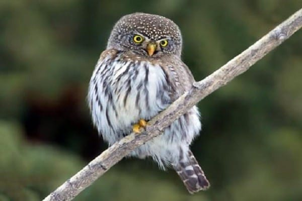 Pygmy-Owl-Bird-Information-Facts