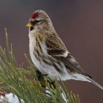 Redpoll-Bird-Information-Facts