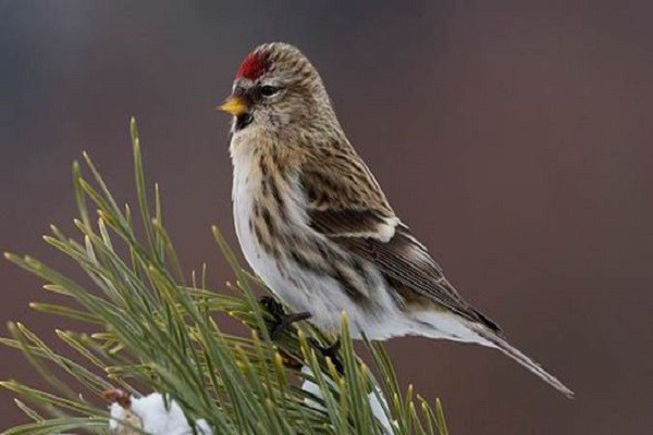 Redpoll-Bird-Information-Facts