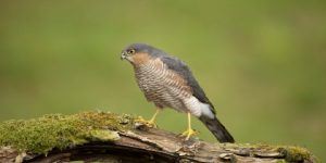 Sparrow Hawk (Accipiter nisus) Bird of Prey