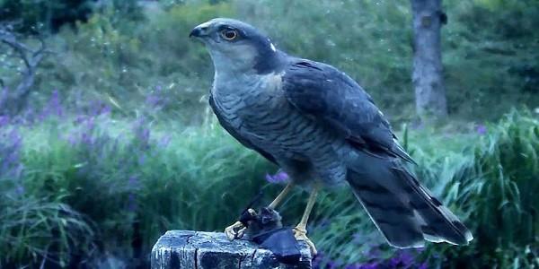 Sparrow-Hawk-Bird