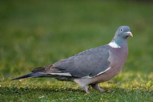 Stock-Dove-Bird-Information-facts