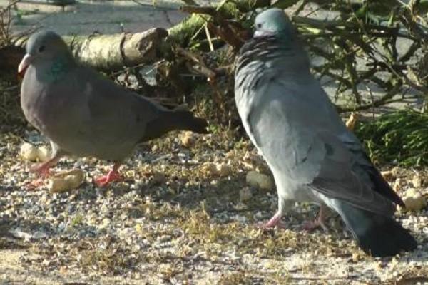 Stock-Dove-Family-Nesting