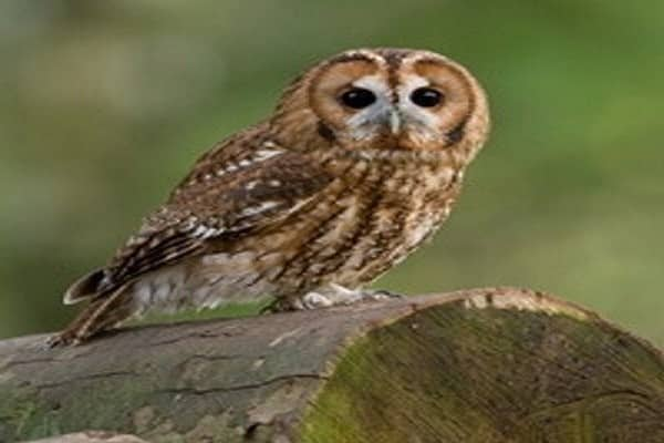 A Tawny Owl perched on a wooden stump.