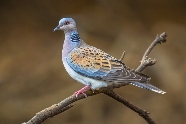 Turtle Dove (Steptopelia turtur)