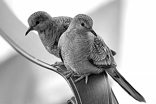Turtle-Dove-Breeding-Family