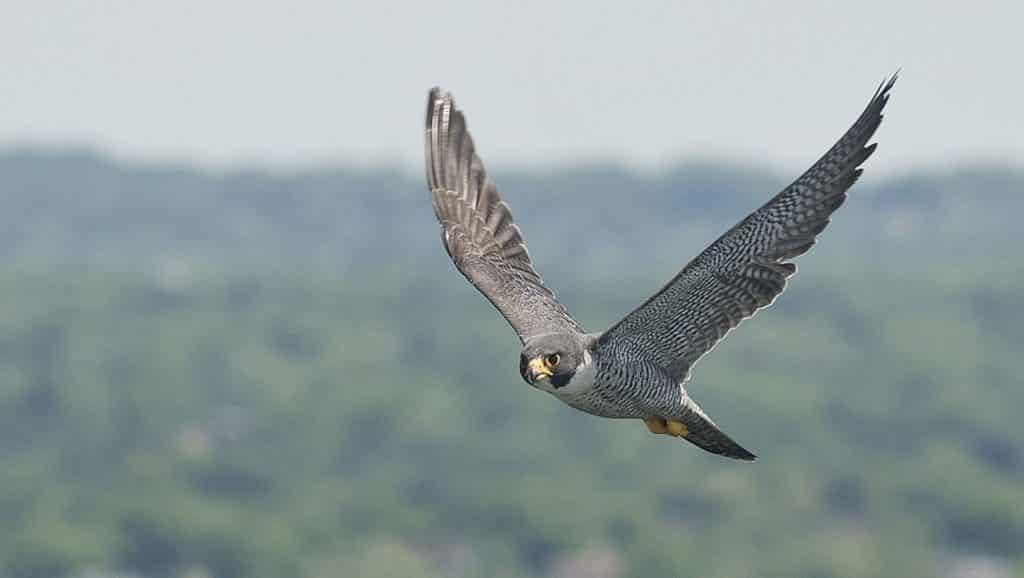 World's-fastest-moving-bird