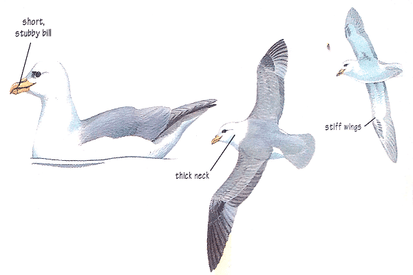 Fulmar Bird Identification