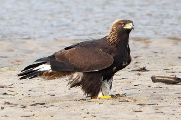 Golden-Eagle-Bird-Information-Facts-Inhabit-Breeding-Nesting-Feed