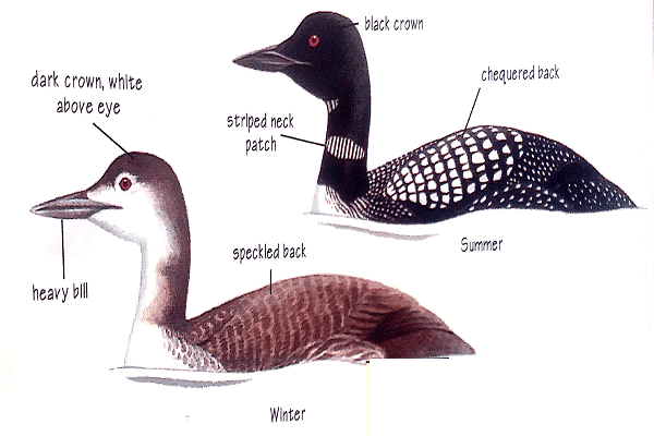 Great-Northern-diver-identification-1