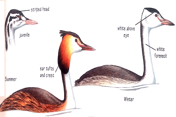 Great-crested-grebe-identification