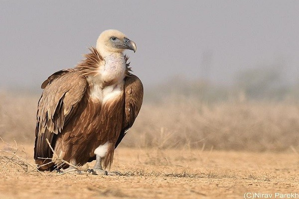 Griffon-Vulture-Identification-Habitat-Nesting-Breeding