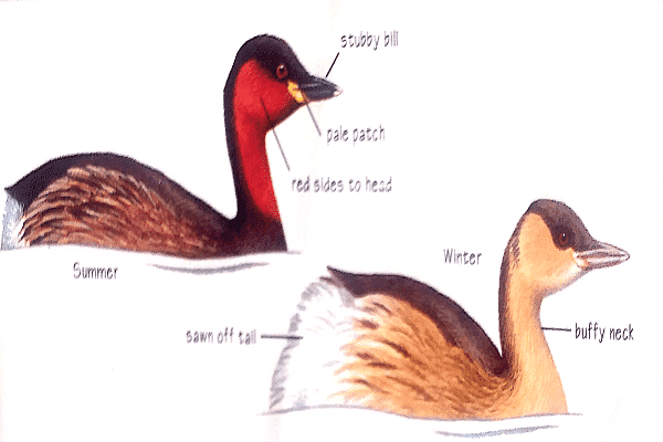 Little-grebe-bird-identification