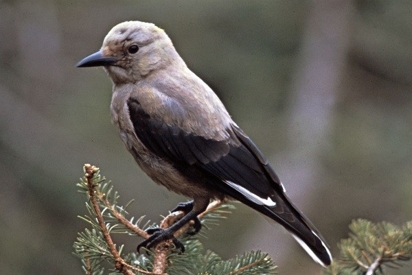 Nutcracker-Bird-Information-and-Facts