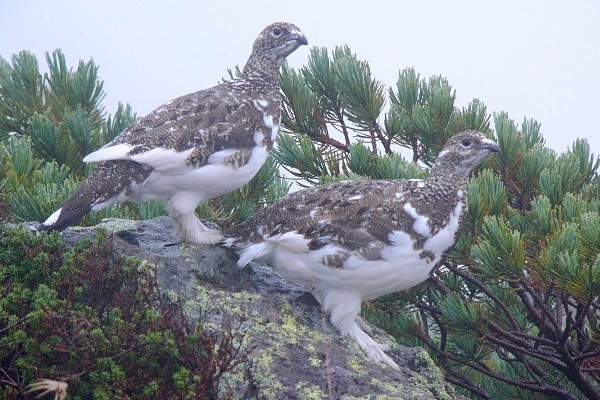 Ptarmigan-Bird-Information-Feed-Inhabit-nesting-Breeding