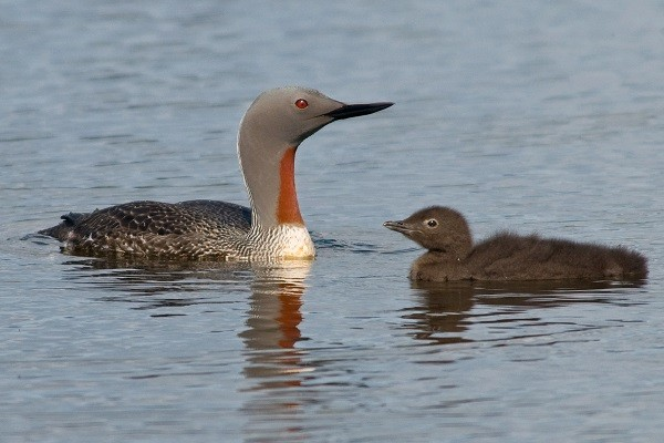 Red-throated Diver