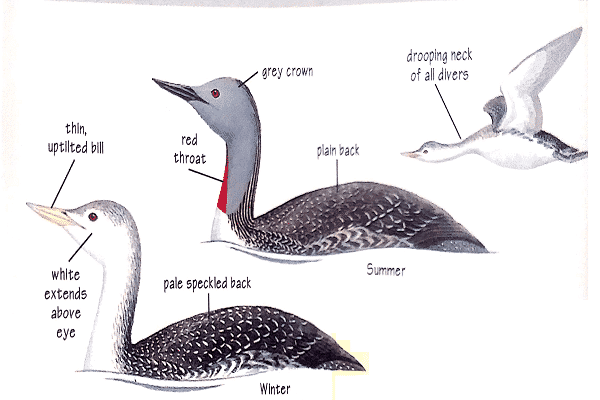 Red-throated-diver-facts-information