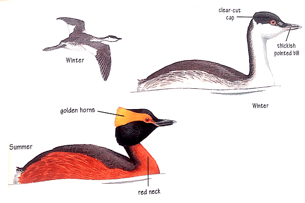 Slavonian-Grebe-Identification