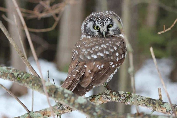 Boreal owl-Identification-Habitat-Nesting-Breeding