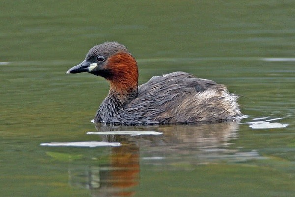 little-grebe-facts-identification-habitat-nesting-breeding