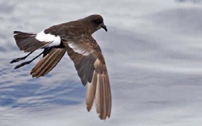 Leach's Storm-petrel bird information and facts identification