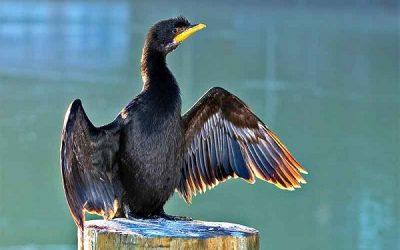 Shag Bird information Facts Identification Breeding