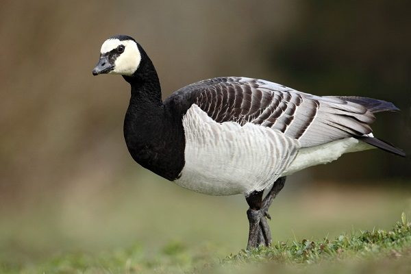 Barnacle Goose information and facts
