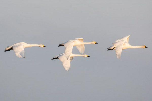 Bewick's Swan (Cygnus columbianus) Bird