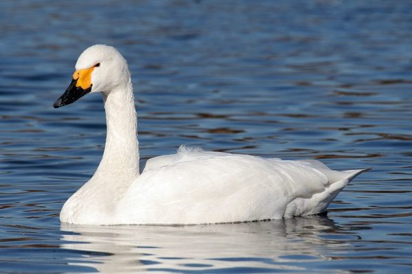 Bewicks-Swan-bird-information-facts
