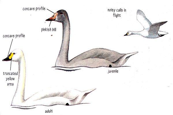Bird-identification-bewick's-swan