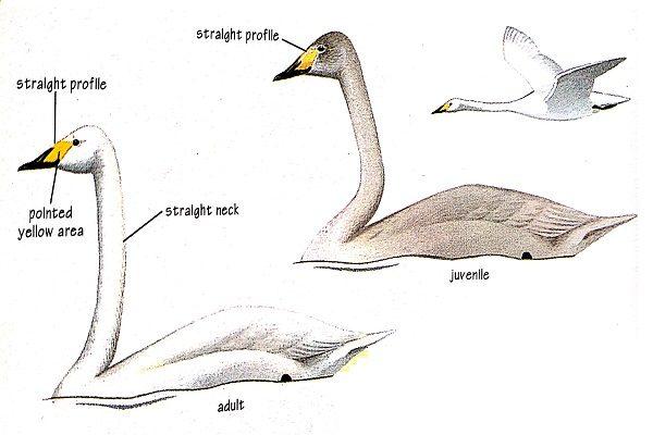 Bird-identification-whooper-swan