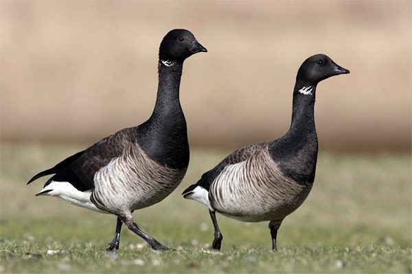 Brent Goose bird information and facts