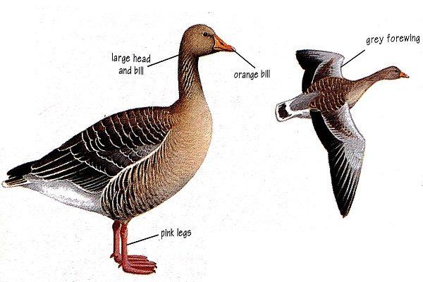 Greylag-goose-identification
