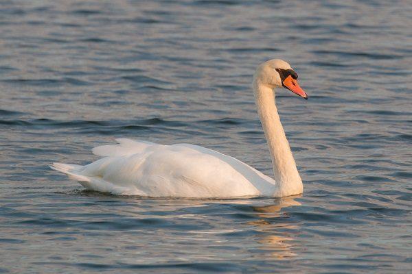 Mute-Swan-Bird-Information-Facts-Identification-habitat