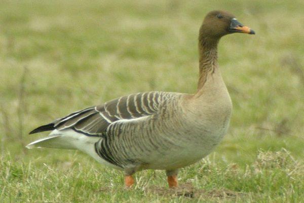 Taiga-Bean-Goose-Bird-Information-Facts